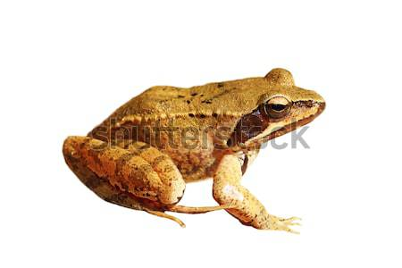 isolated Rana dalmatina Stock photo © taviphoto