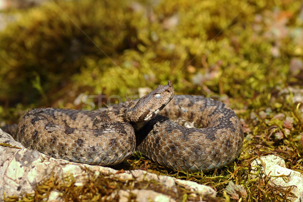nose horned viper basking in natural habitat Stock photo © taviphoto