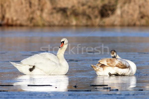 Dempen familie ijzig meer oppervlak natuur Stockfoto © taviphoto