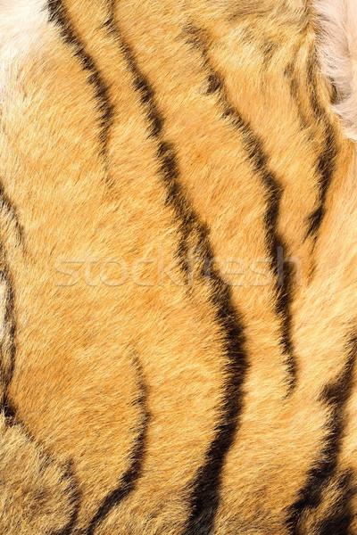 подробность тигр реальный мех охота Сток-фото © taviphoto