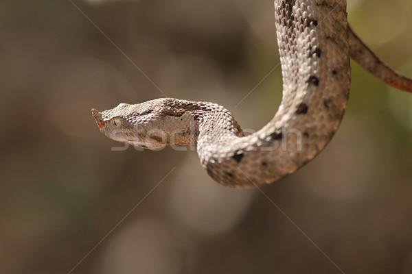 female european sand viper Stock photo © taviphoto