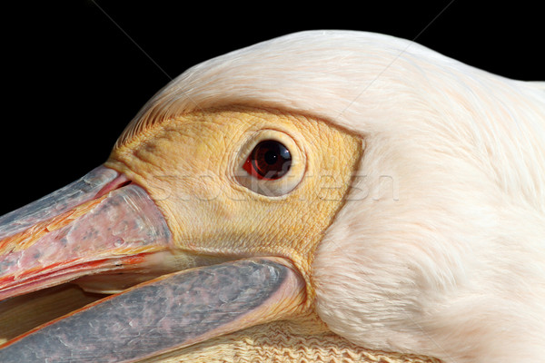 portrait of a great pelican over dark background Stock photo © taviphoto