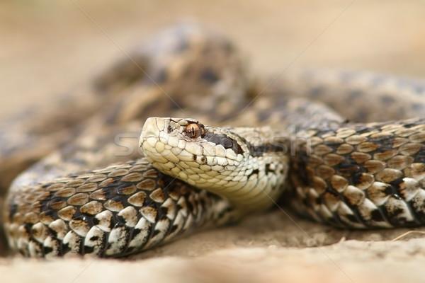 closeup of meadow viper Stock photo © taviphoto