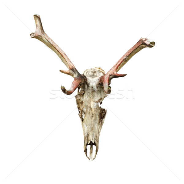skull of red deer eaten by wolfes Stock photo © taviphoto