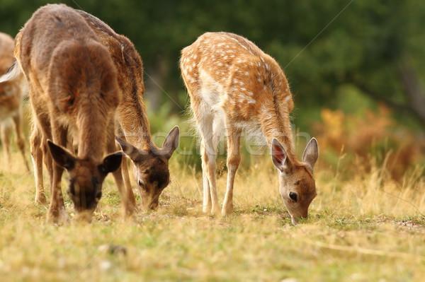 Stock photo: fallow deer herd grazing