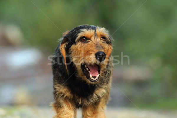 teckel dog portrait Stock photo © taviphoto