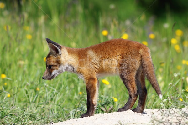 curious red fox Stock photo © taviphoto