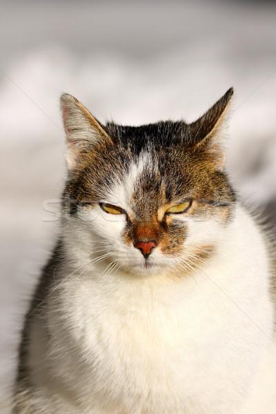 Retrato gato doméstico cute mirando cámara feliz Foto stock © taviphoto