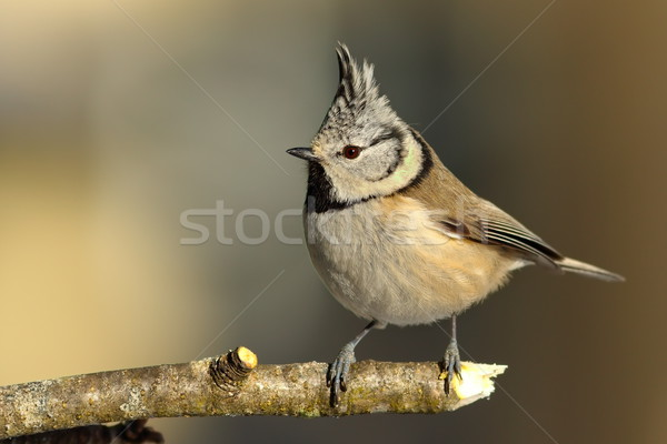 cute garden bird perched on twig Stock photo © taviphoto