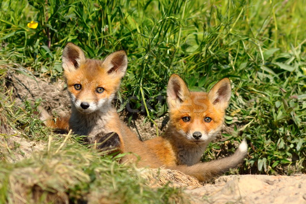 cute red fox siblings at the entrance of the den Stock photo © taviphoto