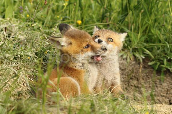二 狐狸 播放 歐洲的 紅色 年輕 商業照片 © taviphoto