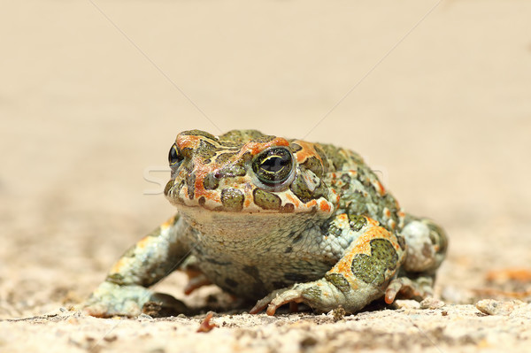 common green toad on the ground Stock photo © taviphoto