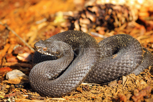 black Vipera berus on forest ground Stock photo © taviphoto