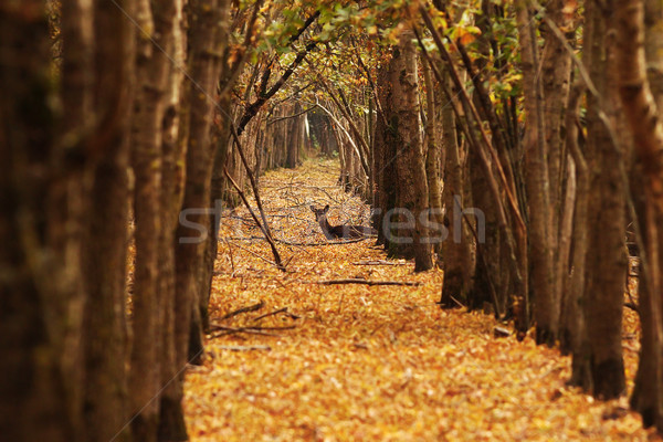 deer doe in autumn forest Stock photo © taviphoto