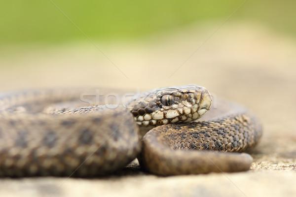 juvenile hungarian meadow viper closeup Stock photo © taviphoto