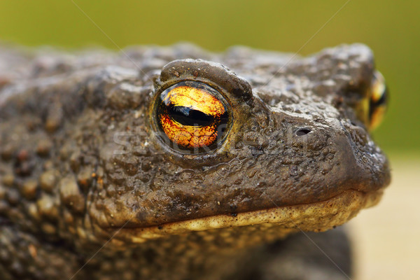 brown common toad portrait, closeup on the eye Stock photo © taviphoto