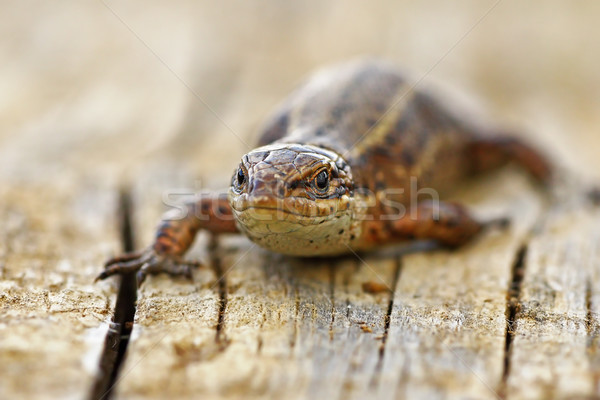 front view of viviparous lizard Stock photo © taviphoto