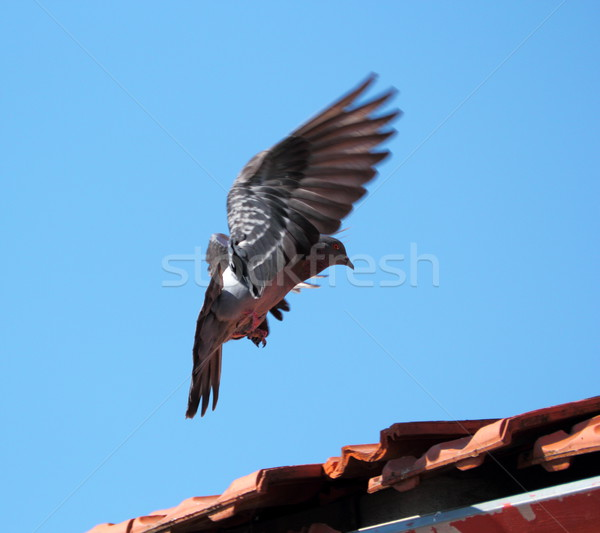 Aterrissagem pombo vôo telhado céu natureza Foto stock © taviphoto