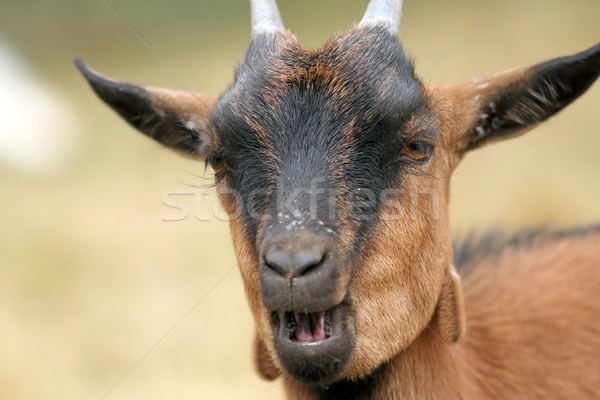 portrait of a brown goat Stock photo © taviphoto