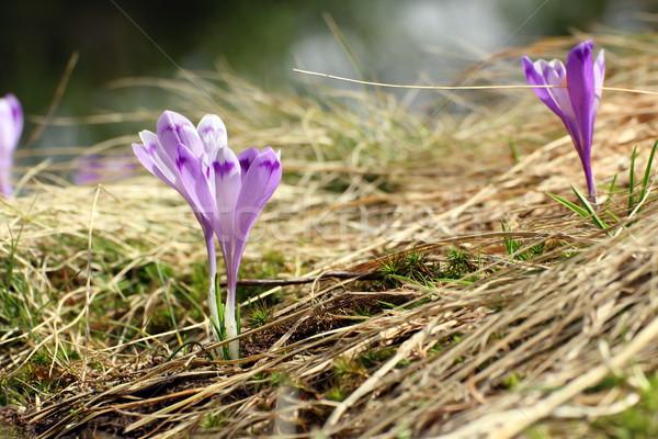 Güzel kır çiçeği çiğdem safran büyüyen erken Stok fotoğraf © taviphoto