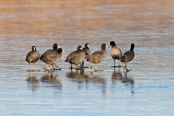 coots standing together on icy lake Stock photo © taviphoto