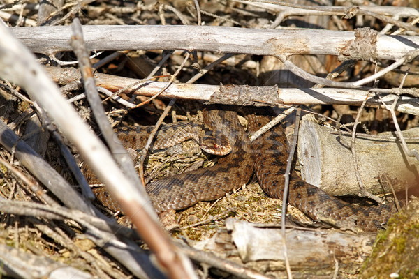 female adder  Stock photo © taviphoto