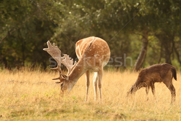fallow deer stag  grazing  Stock photo © taviphoto