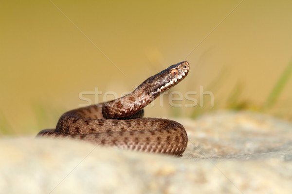 beautiful reptile vipera berus Stock photo © taviphoto