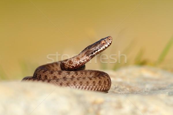 красивой рептилия европейский змеи животного холодно Сток-фото © taviphoto