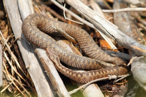 common adder basking in situ Stock photo © taviphoto