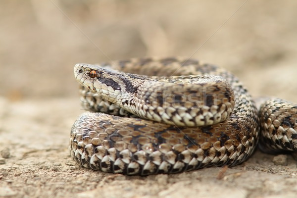 close up of female meadow viper Stock photo © taviphoto