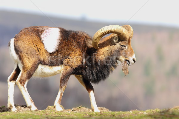 mouflon male eating tree bark Stock photo © taviphoto
