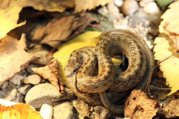 Kamuflaż węża jesienią lasu ziemi charakter Zdjęcia stock © taviphoto