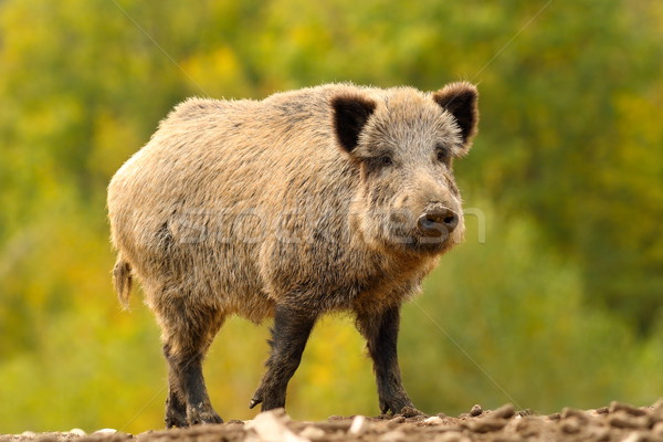 huge wild boar Stock photo © taviphoto