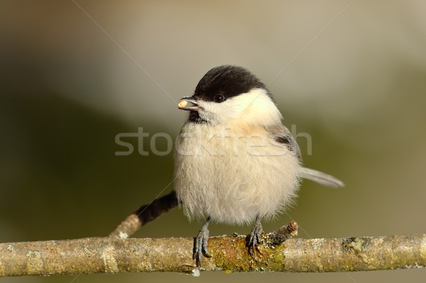 coal tit on twig Stock photo © taviphoto