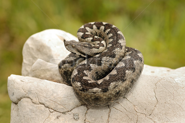 beautiful pattern on Vipera ammodytes Stock photo © taviphoto