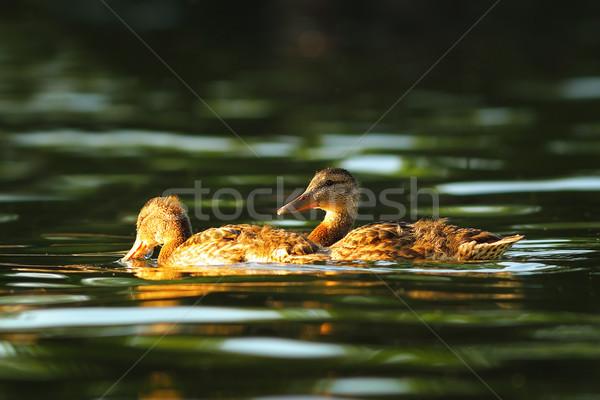 Lagoa natação superfície natureza luz casal Foto stock © taviphoto