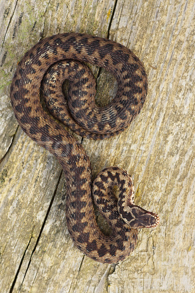 full length Vipera berus basking on wood board Stock photo © taviphoto