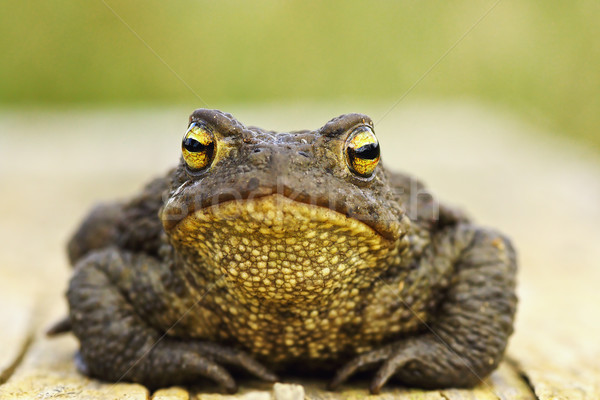 front view of cute common brown frog Stock photo © taviphoto