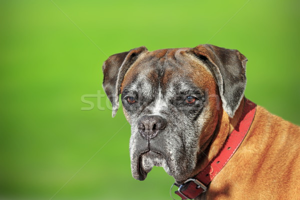 portrait of a boxer doog Stock photo © taviphoto