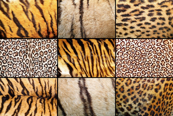 tiger and leopard different real patterns Stock photo © taviphoto