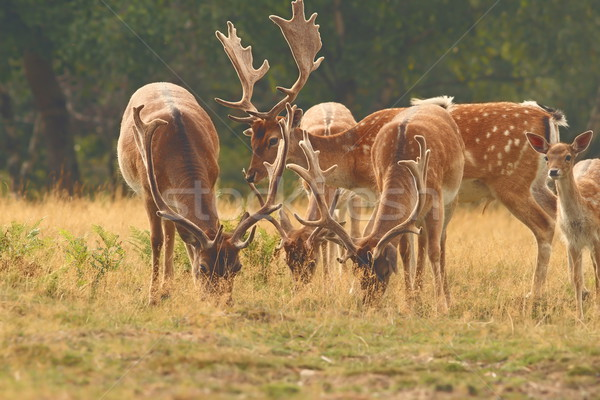 fallow deer males herd Stock photo © taviphoto