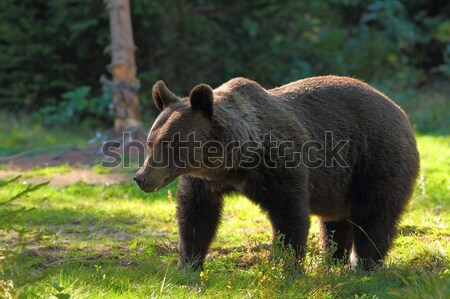 wild brown bear in clearing Stock photo © taviphoto
