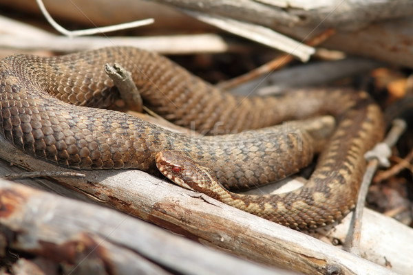 orange female common adder Stock photo © taviphoto