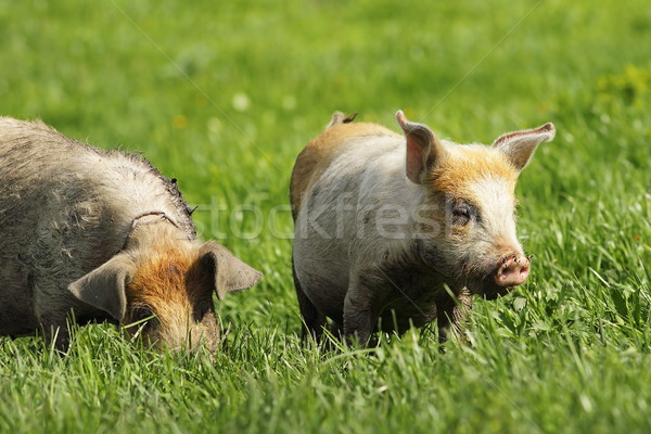 feral pigs grazing on green lawn Stock photo © taviphoto