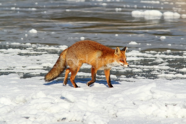 wild fox on frozen lake Stock photo © taviphoto