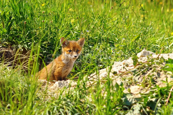 小さな 赤 キツネ 立って 入り口 春 ストックフォト © taviphoto