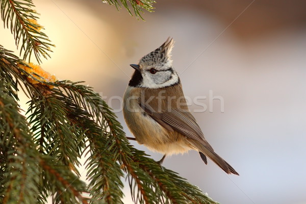 crested tit sitting on fir tree Stock photo © taviphoto