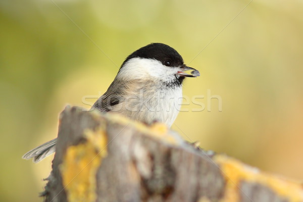coal tit with seed in its beak Stock photo © taviphoto
