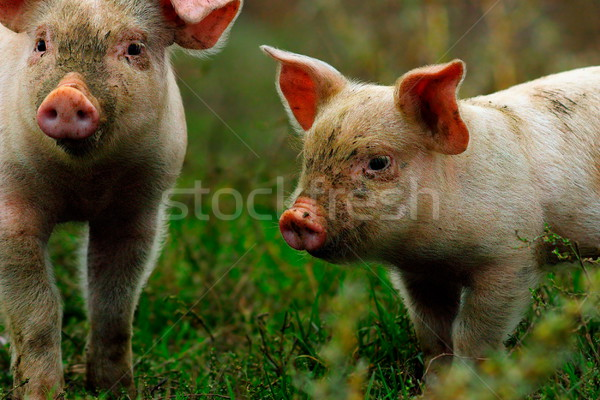 Młodych świń zielone trawnik gospodarstwa bio Zdjęcia stock © taviphoto